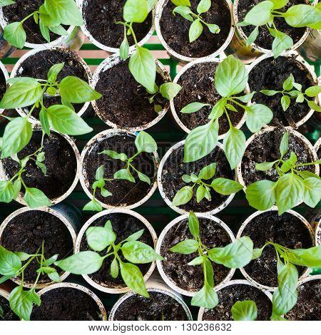 Fresh peppers seedlings growing in a pots