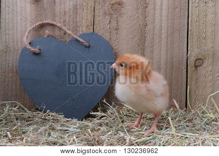 Three day old brown chick with black slate heart. On straw with wooden background. Room for text on heart shape.