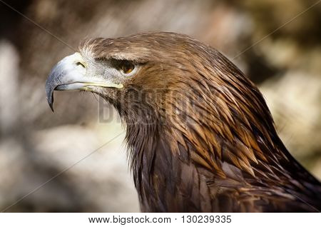 Photo of the Tawny Eagle (Aquila rapax)
