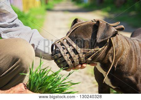 Muzzled dog. Dog fighting breeds close-up of a muzzle