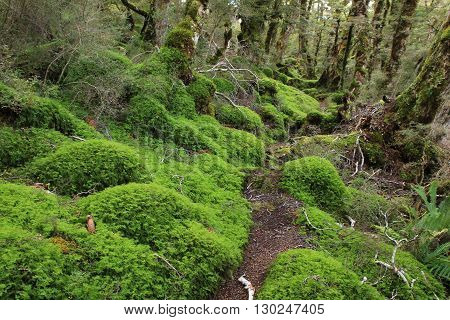 Scene on the Green Lake tramping trail. Fjordland National Park New Zealand. Forest floor covered by green moss.