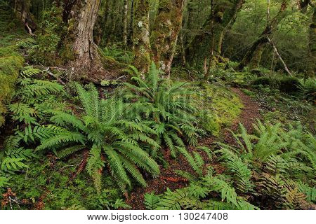 Scene in the Fjordland National Park New Zealand. Tramping path leading trough a green forest with ferns and moss.