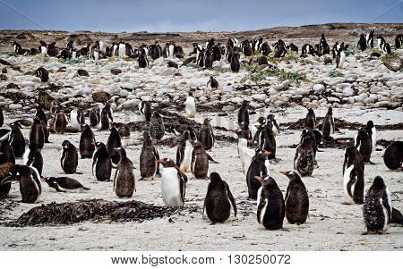 Penquin Rookery  in Stanley, Falkland Islands North Pond.  One of the last untouched landscapes.
