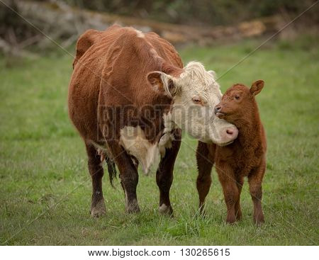 Momma Cow and Calf Sharing a Nuzzle