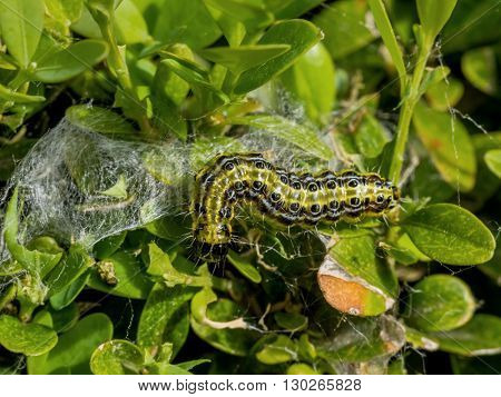 cydalima perspectalis caterpillar in the garden is great threat,