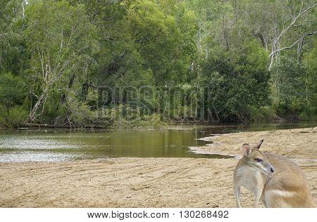 kangaroo by the creek in the Australian bush