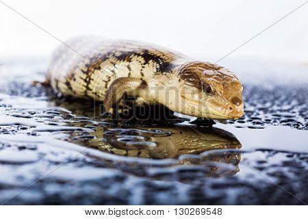 Australian blue tongued lizard in wet dark shiny studio environement