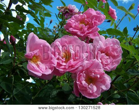 Bright pink roses close up giving a perfume aroma