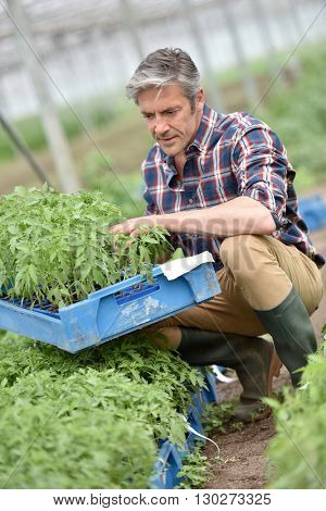 Farmer in greenhouse holding tray of organic plant