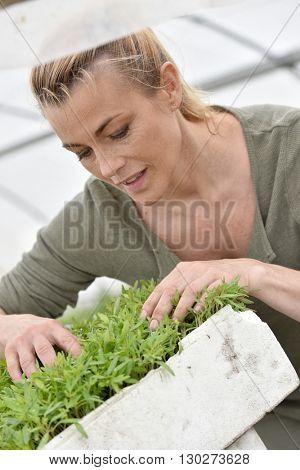 Farmer in greenhouse preparing aromatic plants