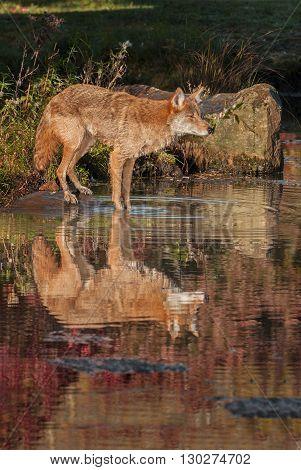 Coyote (Canis latrans) Reflected - captive animal
