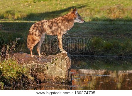 Coyote (Canis latrans) Looks Out from Rock - captive animal
