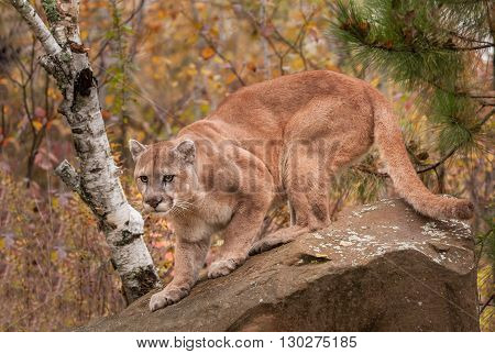 Adult Male Cougar (Puma concolor) Ready to Pounce - captive animal
