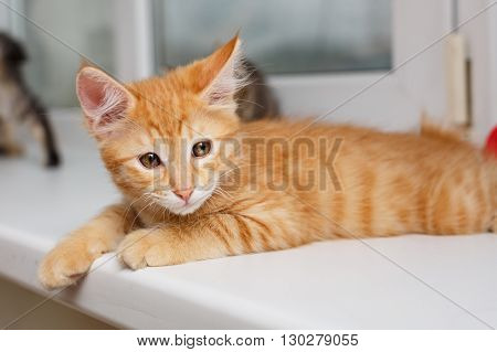 Kuril Bobtail kitten close-up. Thoroughbred cat. Cute and funny kitten. Pet.