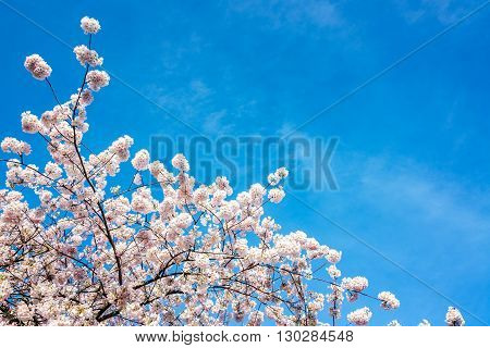 Cherry Blossoms View
