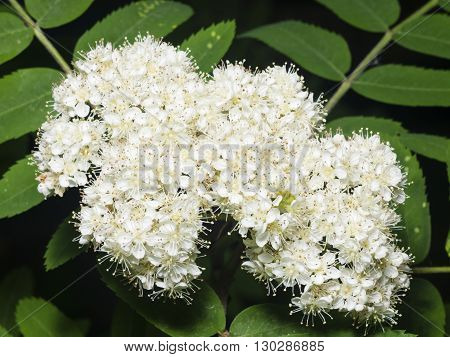 White flowers and leaves of blossoming rowan tree sorbus aucuparia close-up selective focus shallow DOF
