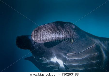 An Isolated Very Rare Black Manta In The Blue Background