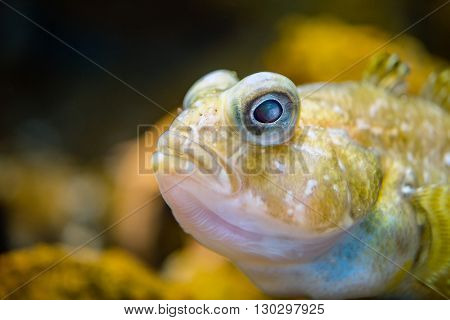 Barbed Plunderfish Antarctic Fish Underwater