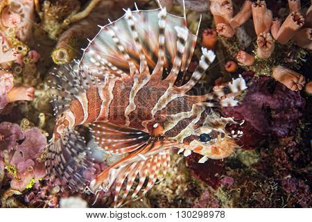 Scorpion Lion Fish Portrait