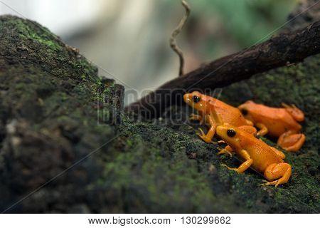 Golden Mantella Frog Of Madagascar