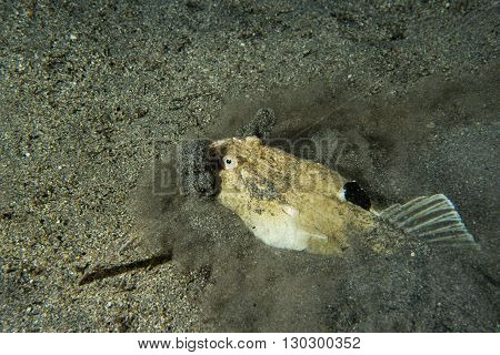 Stargazer Priest Fish Hunting In Sand