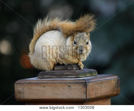 cute squirrel sitting on deck post outdoors poster
