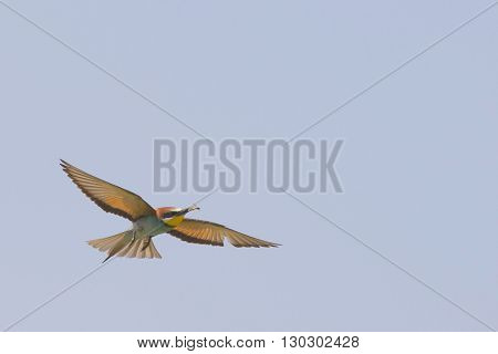 Bee Eater Bird While Flying