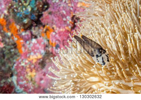 Colorful Nudibranch Portrait On Hard Coral