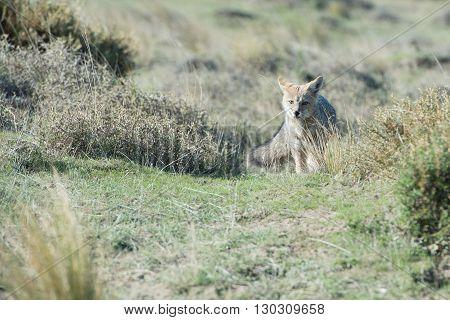 Grey Fox Hunting On The Grass