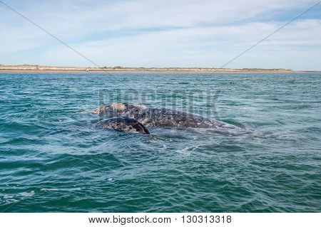Grey Whale While Blowing For Breathing