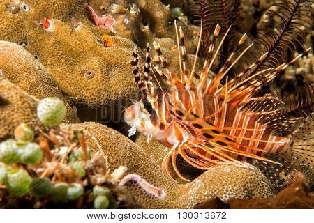 Scorpion Lion Fish Portrait While Diving Indonesia