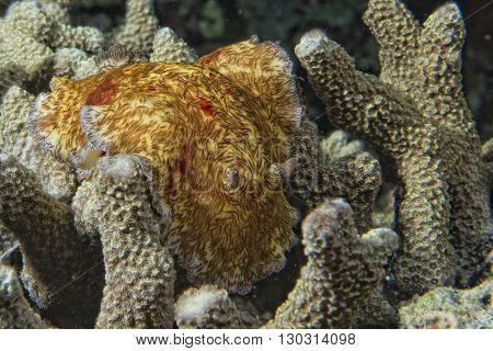 Platydoris Cruenta Nudibranch In Indonesia