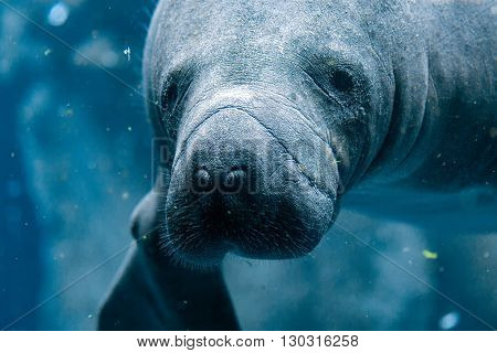 Manatee Close Up Portrait Looking At You