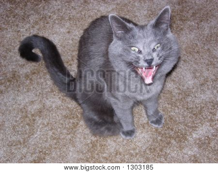 a gray cat with a big yawn poster