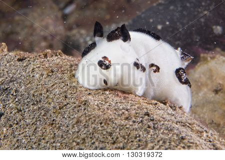 White And Black Nudibranch While Diving Indonesia