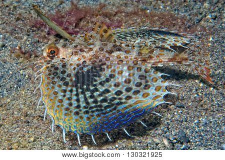 Dactylopterus Volitans Flying Fish