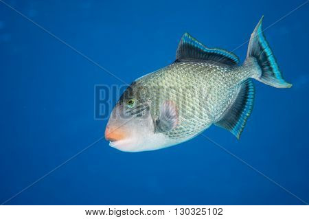 Trigger fish underwater close up portrait on blue