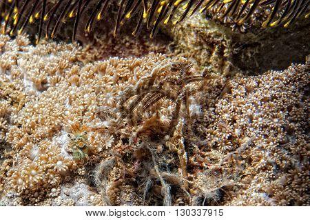 Colorful Shrimp On Hard Coral