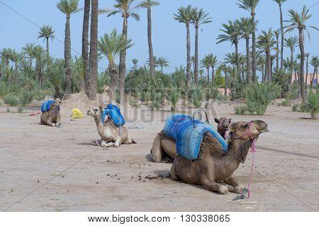 Dromedar Camels near Bedouin Oasis detail close up