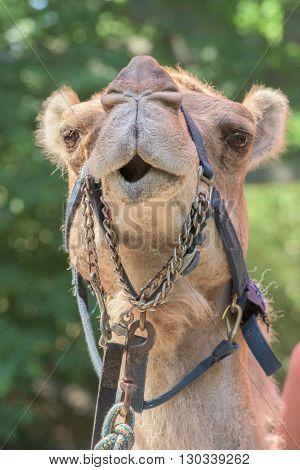 Dromedar Camel Portrait Near Bedouin Oasis