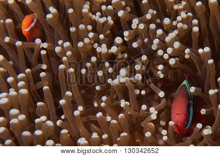 Father And Son Clown Fish In Anemone In Cebu Philippines