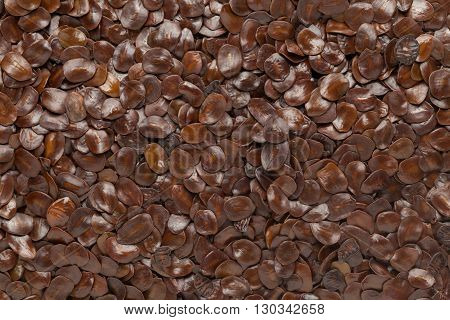 Organic Bastard Teak or Palaash (Butea monosperma) seed. Macro close up background texture. Top view.