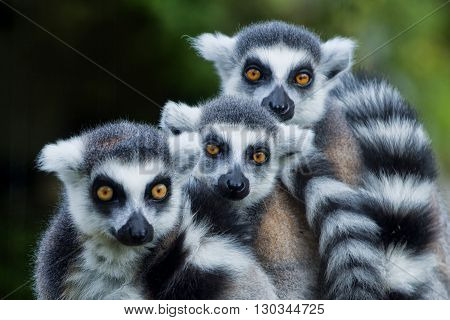 Lemur Monkey While Looking At You
