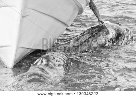 Grey Whale Approaching A Boat In Black And White