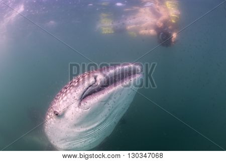 Whale Shark Approaching A Diver Underwater In Baja California