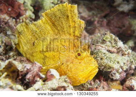 a Yellow Leaf fish in Cebu Philippines