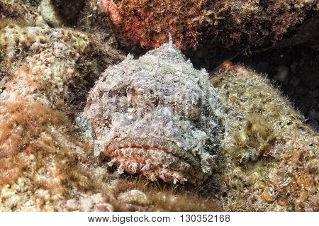 Dangerous Stone Fish Close Up Underwater Portrait