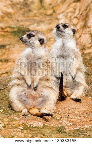 African Meerkats Looking At You