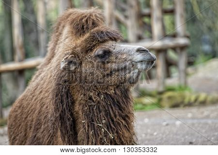 Isolated Dromedar Camel Sitting Near Bedouin Oasis