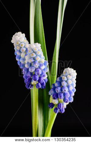 muskari black background Blue Flowers Murine Hyacinth Buds bloom wallpaper